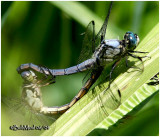 Wheel Mating Position - Great Blue Skimmer