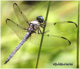Great Blue Skimmer-Male