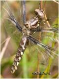 Common Whitetail Female-Teneral