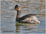 Eared Grebe - Transitional Plumage
