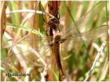 Chalk-Fronted Corporal-Teneral