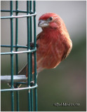 House Finch-Male