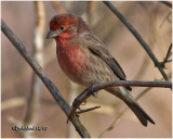 Normal Male House Finch