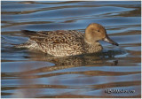 Northern Pintail-Female