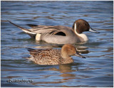 Northern Pintail - Pair