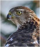Sharp-shinned Hawk-Juvenile