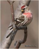 Common Redpoll-Male