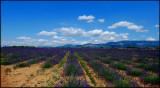 Lavender camps