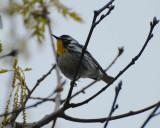 yellowthroated_warbler