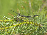 Sandflodtrollslända - Club-tailed Dragonfly (Gomphus vulgatissimus)