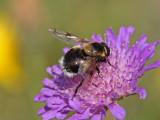 Humleblomfluga - Volucella bombylans (Volucella bombylans)