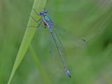 Kraftig smaragdflickslända - Scarce Emerald Damselfly (Lestes dryas)