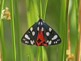Fläckig glansspinnare - Scarlet Tiger (Callimorpha dominula)