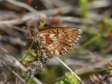 Nymphalidae ( Praktfjärilar )