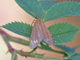 Fönstervingespinnare - Handmaid (Dysauxes ancilla)