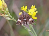 Kalkfly - Four-spotted moth (Tyta luctuosa)