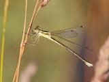 Vandrande smaragdflickslända - Southern Emerald Damselfly (Lestes barbarus)