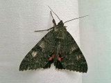 Vinkelbandat Ordensfly - Red Underwing (Catocala nupta)