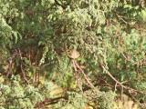 Kungsfågel -Goldcrest (Regulus regulus azoriensis)