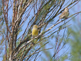 Kanariesiska - Atlantic Canary (Serinus canaria)