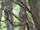 Beigekindad skogstrast - Swainson's thrush (Catharus ustulatus)