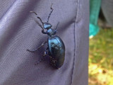Violett majbagge - Violet oil beetle (Meloe violaceus)