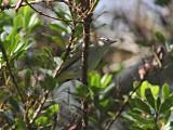 Rödögd vireo - Red-eyed Vireo (Vireo olivaceus)