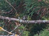Gråkindad skogstrast - Grey-Cheeked Thrush (Catharus minimus)