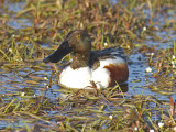 Svanar, änder & gäss / Swans, Ducks & Geese