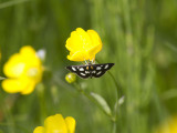 Vitfläckigt ängsmott - White-spotted Sable Moth (Anania funebris)