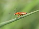 Common red soldier beetle (Rhagonycha fulva)