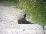 Egyptisk mungo - Egyptian Mongoose (Herpestes ichneumon)