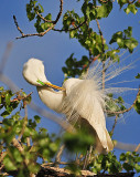 Great Egret at Gray Lodge