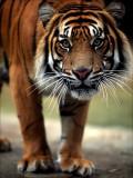 The Eye of the Tiger-AUSTRALIA ZOO-Queensland Australia