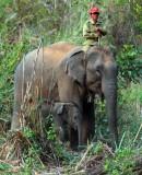 The Elephant Conservation Centre-Sayaboury.Laos PDR