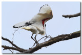 Australian White Ibis - Landing