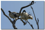 White Ibis - preening