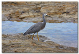 White - faced Heron - 2 images