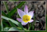 tulp - tulipe