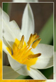 tulp turkestanica