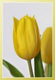 tulp close-up