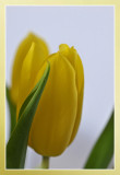 tulip soft touch