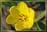 tulp - tulip - tulipe