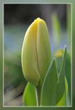 yellow tulip in the morning sun