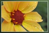 close-up dahlia na de regen