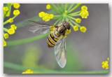 Zweefvlieg (Syrphidae)