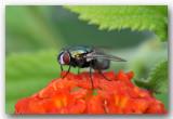 groene vleesvlieg fly