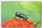 macro fly groene vleesvlieg