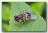Eristalis Pertinax Hoverfly macro