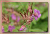geraniums close-up